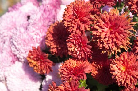variegated: Beautiful variegated chrysanthemum flower autumn vivid background Stock Photo