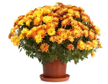 flower pot: A pot of beautiful orange autumn chrysanthemums isolated on white background