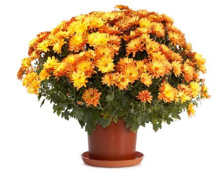 Een pot van prachtige oranje herfst chrysanten geïsoleerd op witte achtergrond