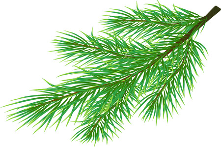 pine tree branch: Fir twig isolated on white ( vector)