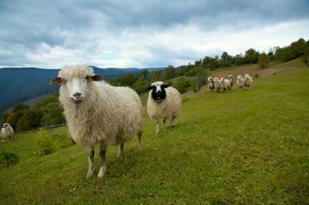 Sheep herd on mountain plateau pasture (Carpathian mountain, Ukraine).