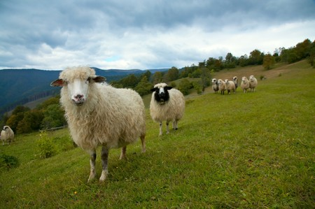 carpathian mountains: Sheep herd on mountain plateau pasture (Carpathian mountain, Ukraine).