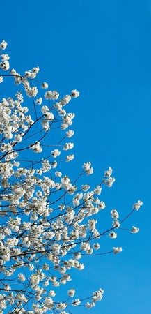 cherrytree: Blossoming twigs of cherry-tree on blue sky background.