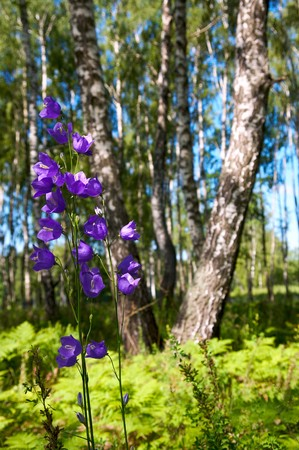 copse: Birches in summer forest with bluebell in front of Stock Photo