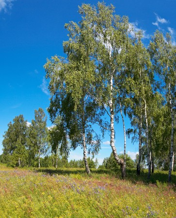copse: Birches in summer forest on sky background. Three shots composite picture.