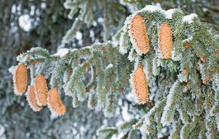 fir twig: winter rime covered fir twig with strobiles (close-up) Stock Photo
