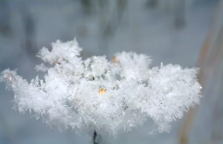 umbel: hoarfrost on dried-up umbel of plant (close-up, macro)