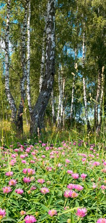 copse: Birches in summer forest with flowers below. Two shots composite picture.
