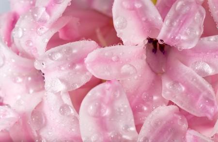 hyacinthus: Primavera rosa vacaciones Jacinto flores de fondo (macro) Foto de archivo