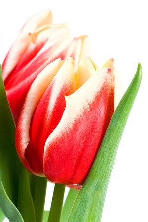festal: Spring holiday red-white tulip flowers isolated on white background