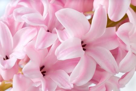 hyacinthus: Hyacinthus vacaciones de primavera de flores de color rosa de fondo (macro) Foto de archivo
