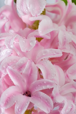 hyacinthus: Spring holiday pink hyacinthus flowers background ( macro)