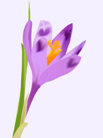 sepal: Spring violet crocus flower on grey background (vector )