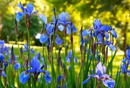 blueflag: iris de flores en verano soleado parque