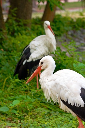 zoological: stork group in zoological garden Stock Photo