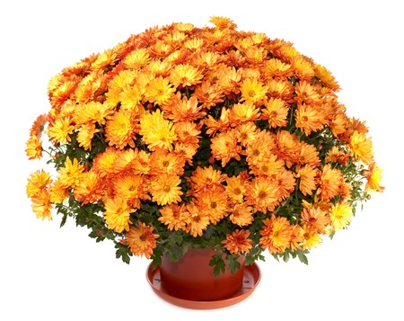 plant pot: A pot of beautiful orange autumn chrysanthemums isolated on white background