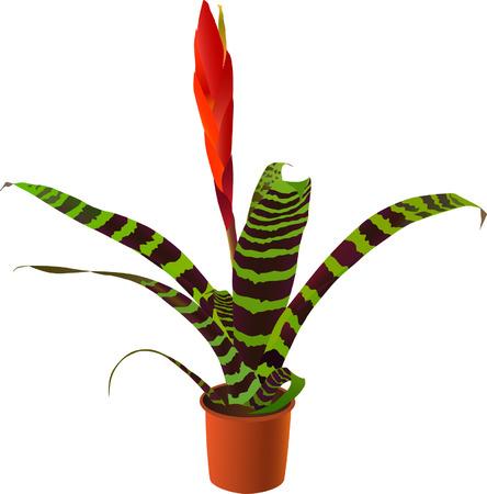 """vriesea: Finestra di piante """"vriesea splendens"""" (illustrazione vettoriale) Vettoriali"""