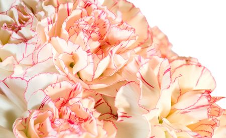 considerable: Holiday carnation flowers background (composite macro photo with considerable depth of sharpness)