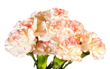 considerable: Holiday carnation flowers bouquet isolated on white (composite macro photo with considerable depth of sharpness)