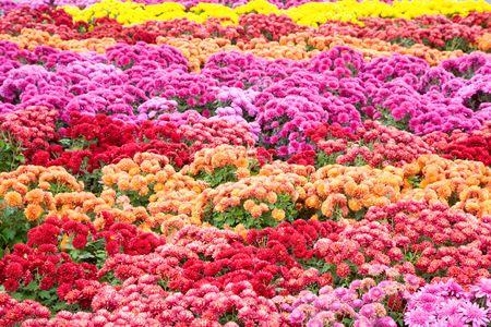 varicoloured: Flor de crisantemo varicoloured oto�o mal (con rayas de fondo)