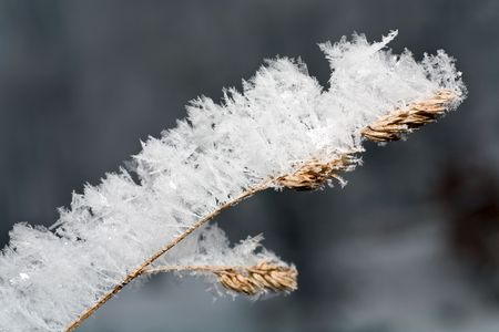 caulis: dry sprig of grass covered by a hoarfrost (dusk)