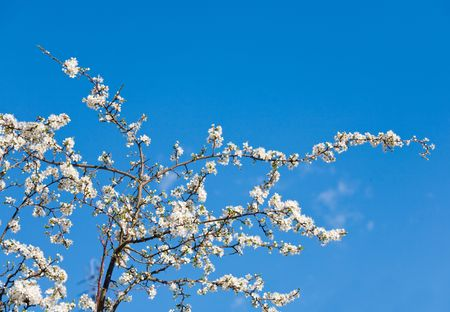 alycha: Part of blossoming cherry-tree on blue sky background Stock Photo