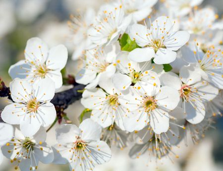 alycha: Blossoming twig of China cherry tree (macro) Stock Photo
