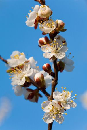 alycha: Blossoming twig of cherry-tree on blue sky background (composite macro photo with considerable depth of sharpness) Stock Photo