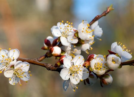 cherrytree: Blossoming twig of cherry-tree on blossom tree background (composite macro photo with considerable depth of sharpness) Stock Photo