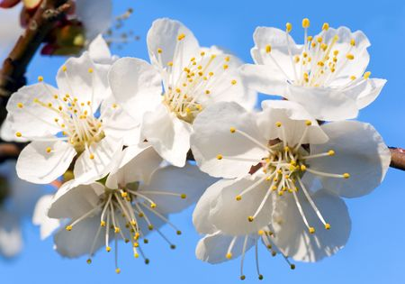 cherrytree: Blossoming twig of cherry-tree on blossom tree and sky background (composite macro photo with considerable depth of sharpness) Stock Photo