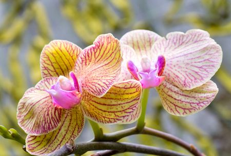 blotchy: beautiful magenta-yellow  blotchy orchid flower (macro)