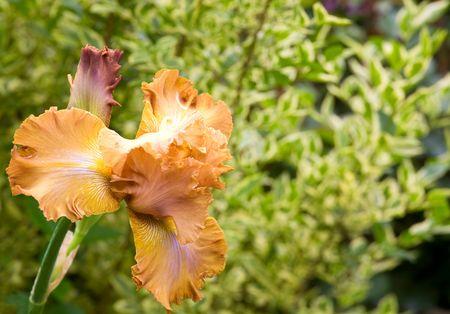 blueflag: hermoso brillo del iris de flores en la cama de flores