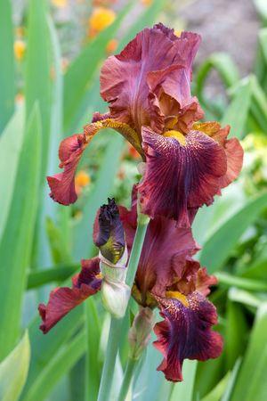 blueflag: bella flor del iris marr�n (macro)