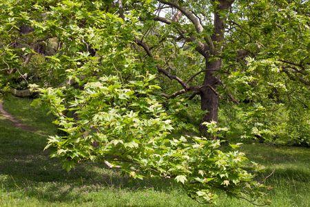 copse: Majestic plane tree on green summer glade. Stock Photo