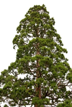 Top of old majestic sequoia tree (Sequoiadendron giganteum) isolated on white background.