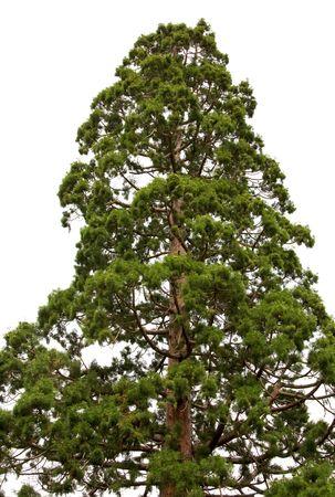 Top van oude majestueuze sequoia boom (Sequoiadendron giganteum) geïsoleerd op een witte achtergrond. Stockfoto