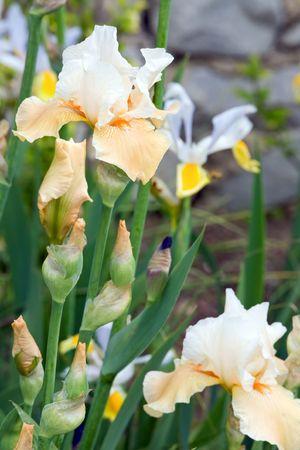 blueflag: hermoso color amarillo-naranja lirio de flores en la cama de flores Foto de archivo