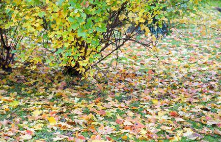 varicoloured: oto�o de hierba verde con abscised hojas del arbusto y varicoloured