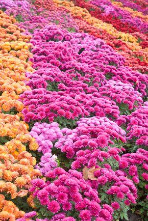 varicoloured: Autumn varicoloured chrysanthemum flower bad (striped background)