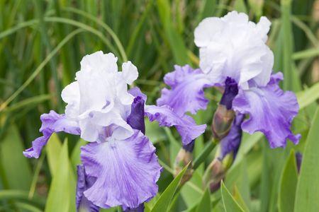 blueflag: azul-violeta hermosa flor del iris (macro) sobre la cama de flores