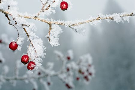 Rime covered branch of wild rose with red berries