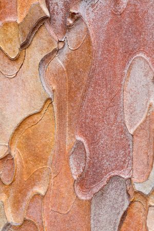 blotched: Coarse blotched bark of old crimean pine tree (Stankevycha pine). Detailed macro.