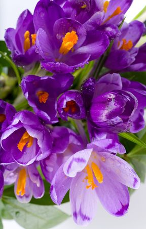neatness: Spring holiday crocus flowers background ( macro) Stock Photo