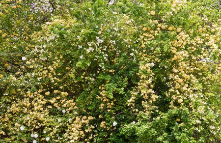 blossom spring bush with white and beige flowers (nature background) Stock Photo - 5223800