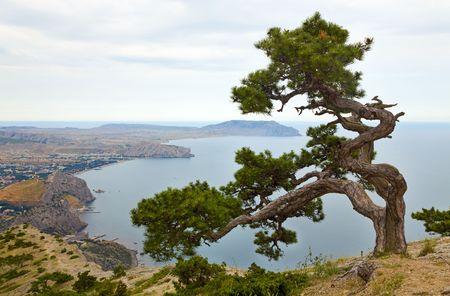 rocky mountain juniper: juniper tree on rock and Sudak City background (Crimea, Ukraine).