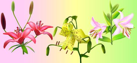 lilium: lily collection ( Liliaceae lilium) (vector illustration) Illustration