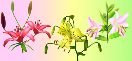 lily collection ( Liliaceae lilium) (vector illustration) Illustration