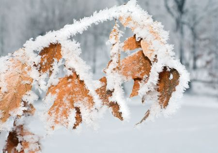 dry leaves of oak covered by a hoarfrost photo