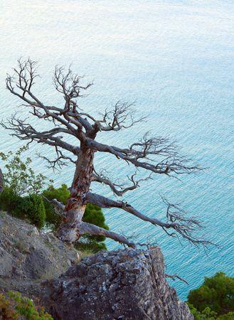 rocky mountain juniper: withered juniper tree on sea background (Crimea, Ukraine). Stock Photo