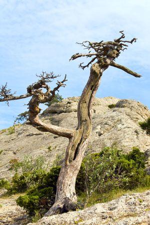 rocky mountain juniper: withered juniper tree on sky background ( Novyj Svit reserve, Crimea, Ukraine). Stock Photo